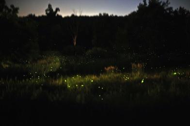 Fireflies 1.0