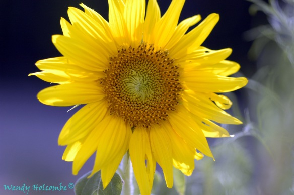 sunflower favorite with watermark