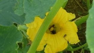 pumpkin-blossom-wtih-bug